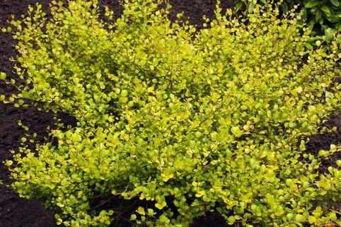 Zwergbirke / Polarbirke 'Golden Treasure' - Betula nana 'Golden Treasure'