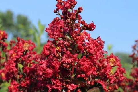Zwergige Kräuselmyrte 'Red Imperator' - Lagerstroemia nana 'Red Imperator'