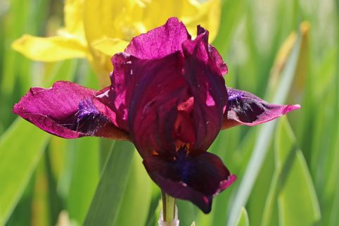 Zwergige Schwertlilie 'Cherry Garden' - Iris x barbata-nana 'Cherry Garden'