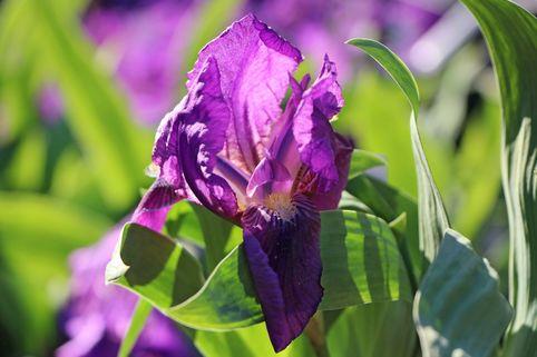 Zwergige Schwertlilie 'Cyanea' - Iris x barbata-nana 'Cyanea'