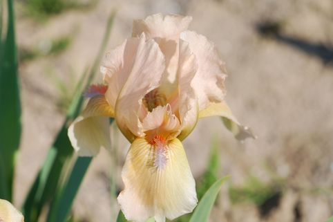 Zwergige Schwertlilie 'Orchid Flair' - Iris x barbata-nana 'Orchid Flair'