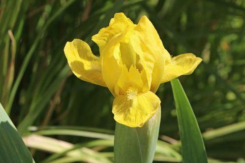 Zwergige Schwertlilie 'Path of Gold' - Iris x barbata-nana 'Path of Gold'