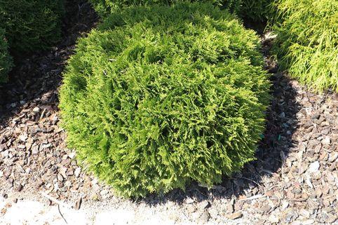 Zwergiger Kugel-Lebensbaum 'Danica' - Thuja occidentalis 'Danica'