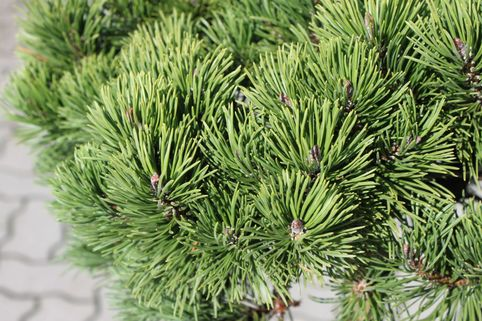 Zwergkiefer 'March' - Pinus mugo 'March'