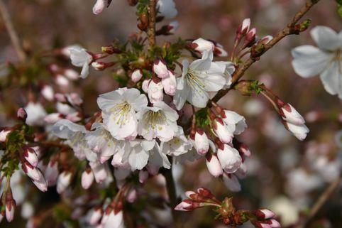 Zwergkirsche 'Brilliant' / Kurilenkirsche 'Brilliant' - Prunus kurilensis 'Brilliant'