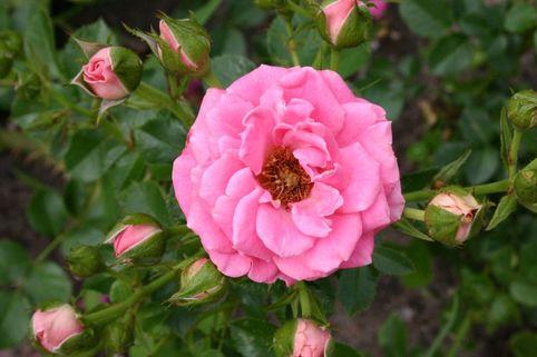 Zwergkönigin 82 ® - Rosa 'Zwergkönigin 82' ®