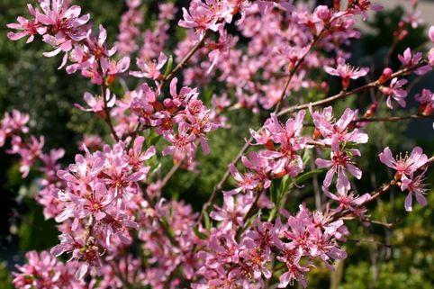 Zwergmandel 'Fire Hill' - Prunus tenella 'Fire Hill'