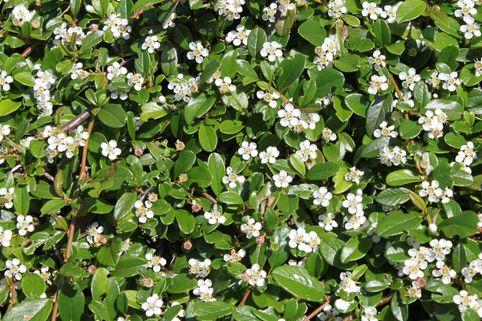 Zwergmispel / Kriechmispel 'Streibs Findling' - Cotoneaster microphyllus 'Streibs Findling'