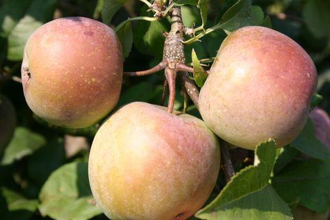 Ministämmchen Apfel 'Fuji' - Malus 'Fuji'