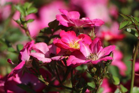 Zwergrose / Bodendeckerrose 'Lupo' ® - Rosa 'Lupo' ® ADR-Rose