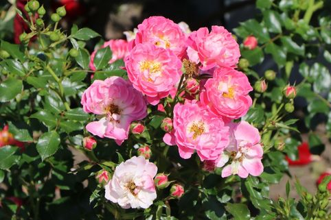 Zwergrose 'Charmant' ® - Rosa 'Charmant' ® ADR-Rose