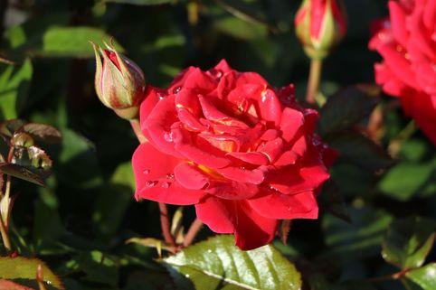 Zwergrose 'Chili Clementine' ® - Rosa 'Chili Clementine' ®