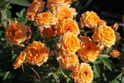 Zwergrose 'Clementine' ® - Rosa 'Clementine' ®