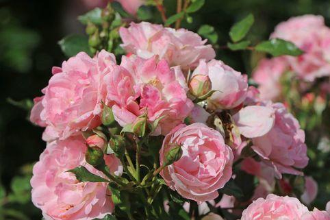 Zwergrose 'Flirt 2011' ® - Rosa 'Flirt 2011' ® ADR-Rose