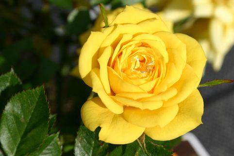 Zwergrose 'Goldjuwel' ® - Rosa 'Goldjuwel' ®