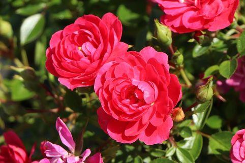 Zwergrose 'Hobby' ® - Rosa 'Hobby' ®