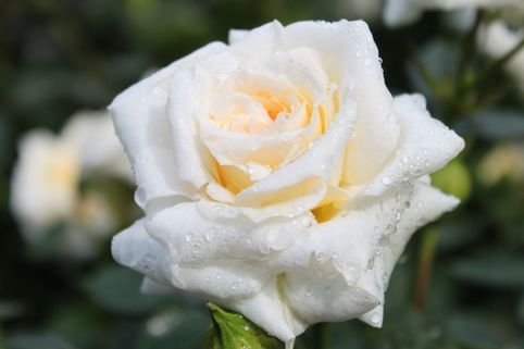 Zwergrose 'Honeymilk' ® - Rosa 'Honeymilk' ®