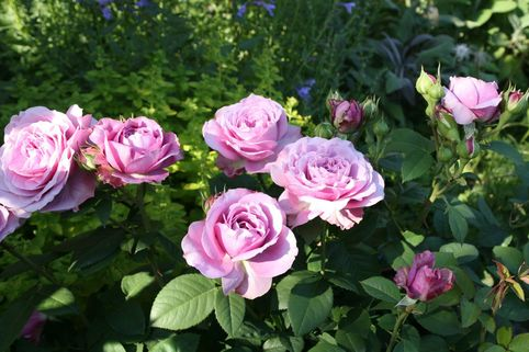 Zwergrose 'Lavender Ice' ® - Rosa 'Lavender Ice' ®