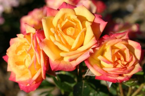 Zwergrose 'Little Sunset' ® - Rosa 'Little Sunset' ®
