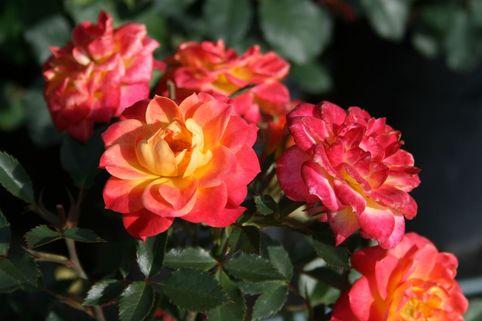 Zwergrose 'Mandarin' ® - Rosa 'Mandarin' ®