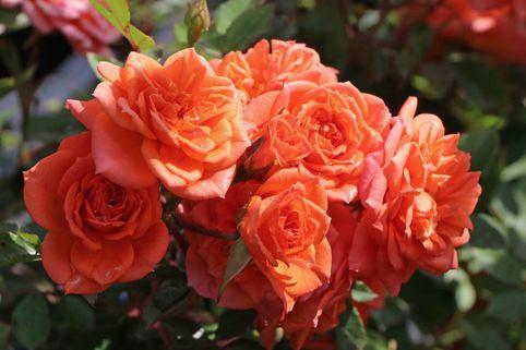Zwergrose 'Ninetta' ® - Rosa 'Ninetta' ®