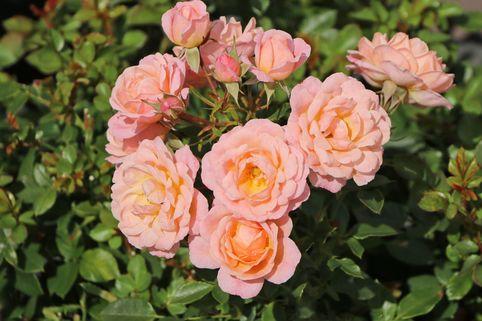 Zwergrose 'Peach Clementine' ® - Rosa 'Peach Clementine' ®