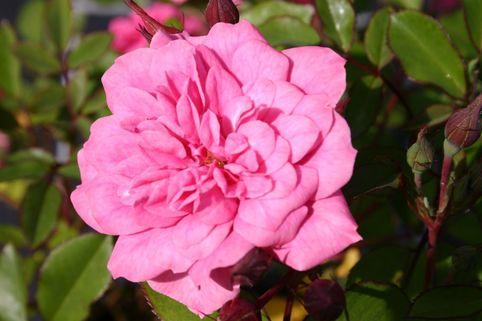 Zwergrose 'Rosmarin' ® - Rosa 'Rosmarin'