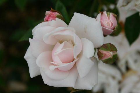 Zwergrose 'Schneeküsschen' ® - Rosa 'Schneeküsschen' ®