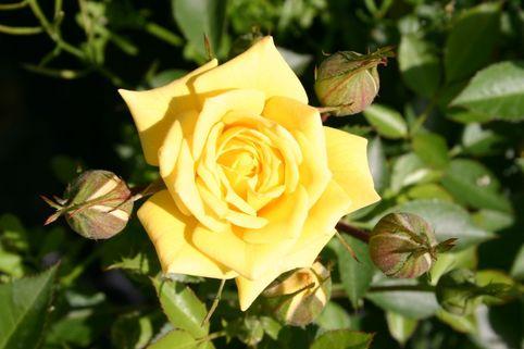 Zwergrose 'Sonnenkind' ® - Rosa 'Sonnenkind' ®