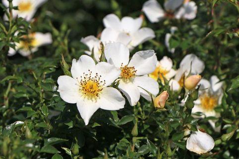 Zwergrose 'Sonnenröschen' ® - Rosa 'Sonnenröschen' ®