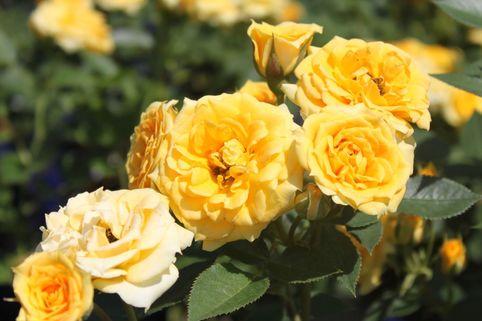 Zwergrose 'Yellow Clementine' ® - Rosa 'Yellow Clementine' ®