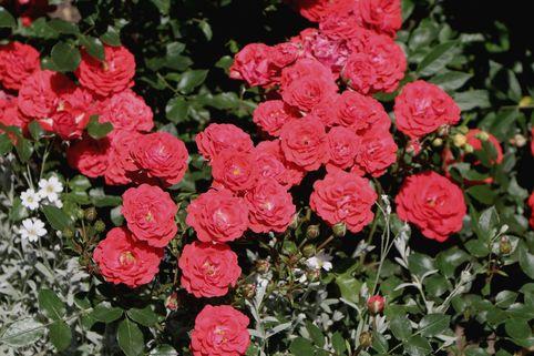 Zwergrose 'Zwergenfee 09' ® - Rosa 'Zwergenfee 09' ®