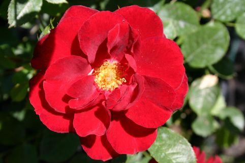 Zwergrose 'Zwergkönig 78' ® - Rosa 'Zwergkönig 78' ®