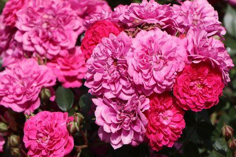 Zwergrose/Bodendeckerrose 'Roxy' ® - Rosa 'Roxy' ® ADR-Rose