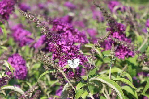 Zwerg-Sommerflieder / Schmetterlingsstrauch 'Buzz ® Pink Purple' - Buddleja davidii 'Buzz ® Pink Purple'