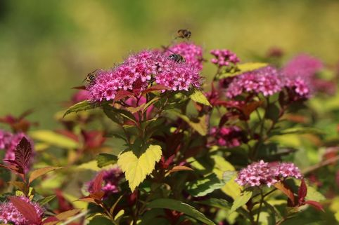 Zwergspiere 'Magic Carpet' - Spiraea japonica 'Magic Carpet'