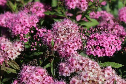 Zwergspiere 'Shirobana' - Spiraea japonica 'Shirobana'