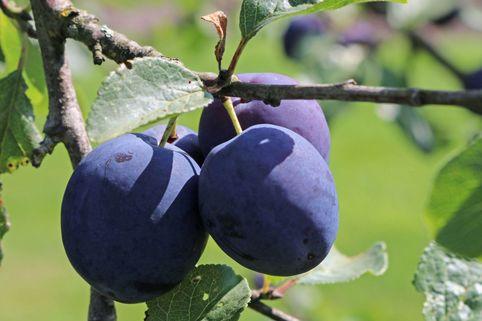 Zwetsche 'Anna Späth' - Prunus 'Anna Späth'