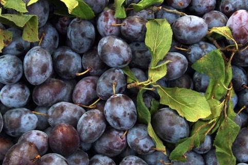 Zwetsche 'Cacaks Schöne' - Prunus 'Cacaks Schöne'