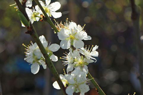 Zwetsche 'Schönberger Zwetsche' / 'Große Hauszwetschge' - Prunus domestica 'Schönberger Zwetsche' / 'Große Hauszwetschge'