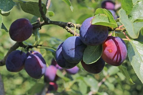 Zwetsche 'Tegera' ® - Prunus 'Tegera' ®