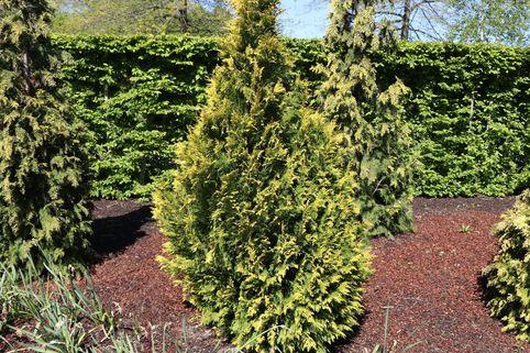 Zypresse 'Erecta Aurea' - Chamaecyparis lawsoniana 'Erecta Aurea'