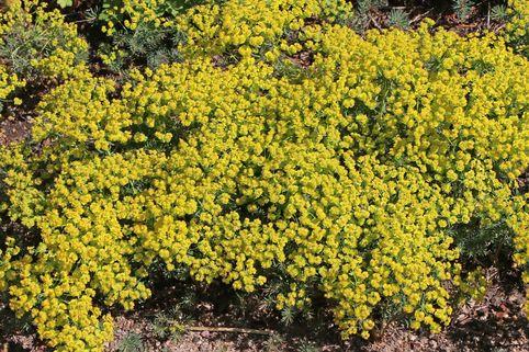 Zypressen-Wolfsmilch - Euphorbia cyparissias
