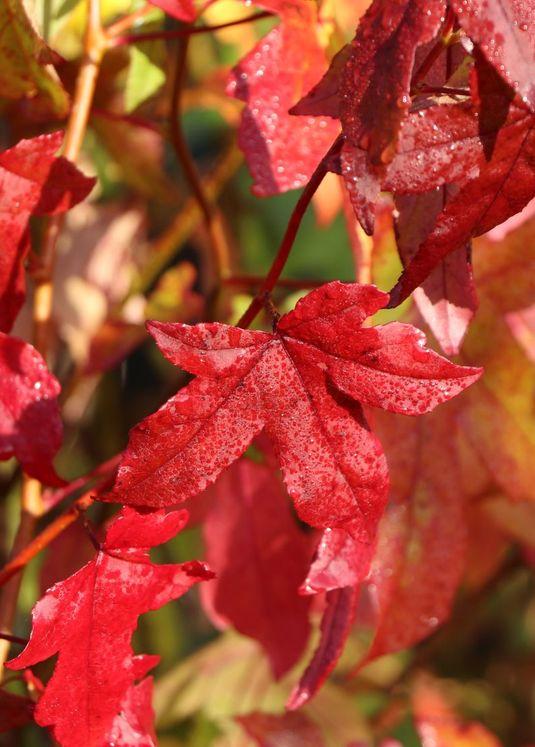 Amerikanische Amberbaum 'Slender Silhouette'