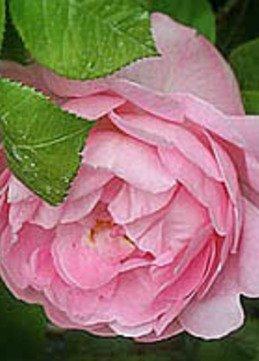 Englische Rose 'Constance Spry'