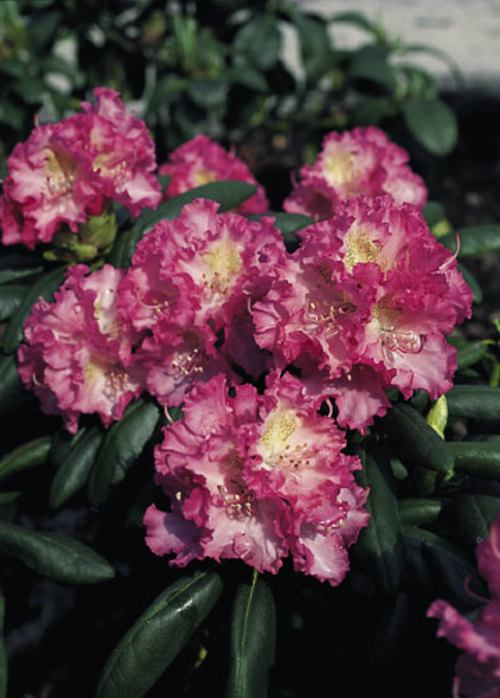 Rhododendron 'Rosita'