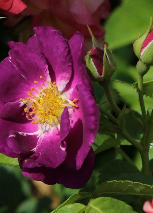 Beetrose / Strauchrose 'Rhapsody in Blue'