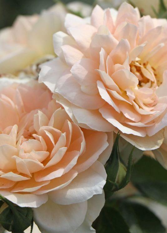 Beetrose 'Lions-Rose'  ®        ADR-Rose