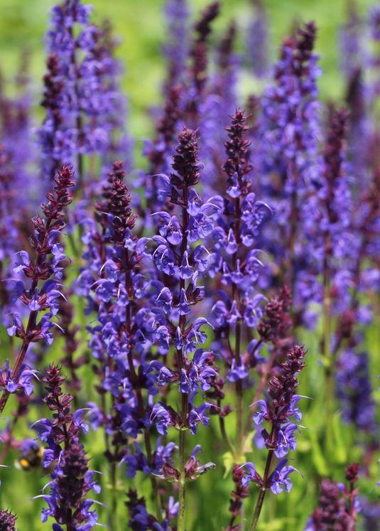 Blüten-Salbei 'Mainacht'