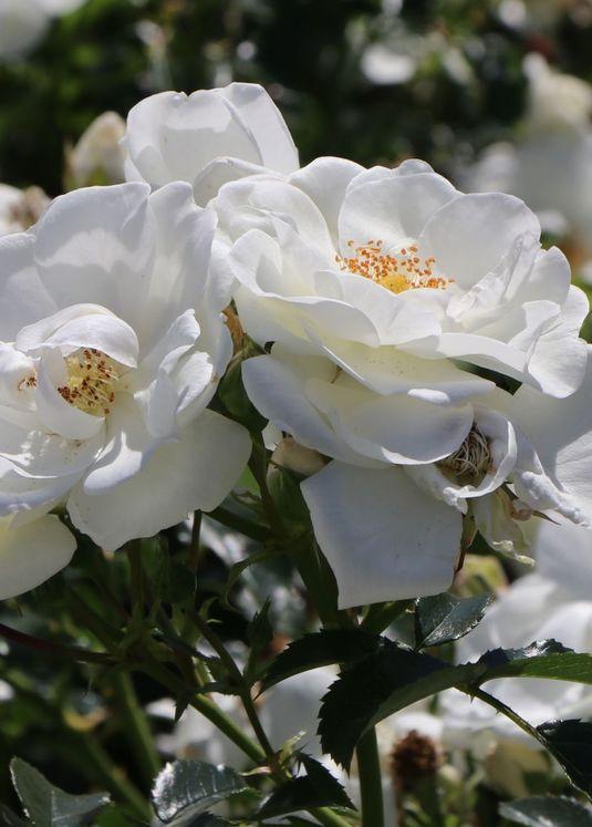 Bodendecker-Rose 'Innocencia' ®